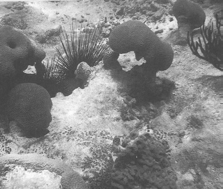 diadema sea urchin