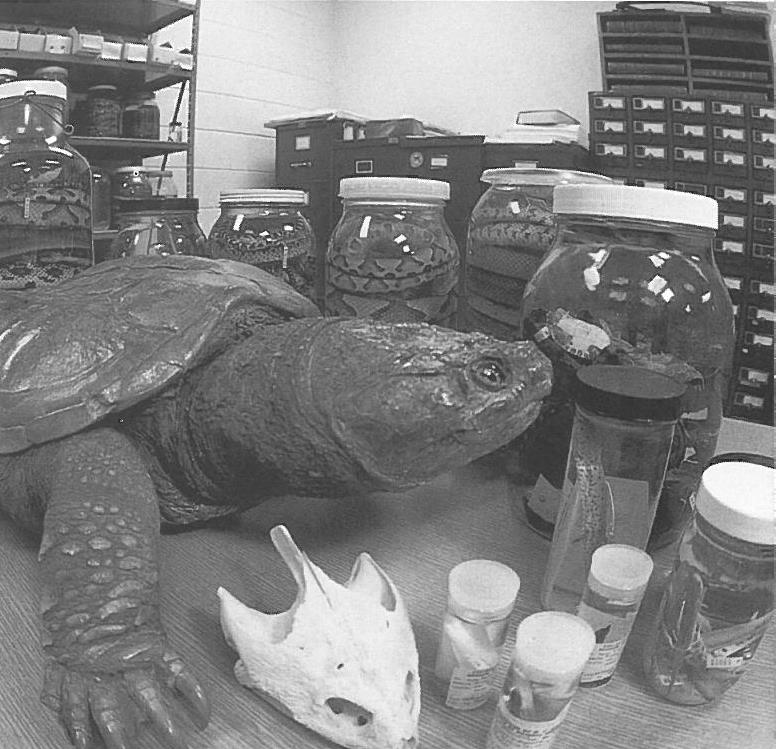 40-pound brown snapping turtle