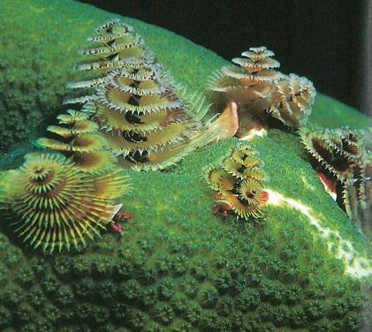 Montastraea with Spirobranchus giganteus