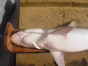 Pregnant sharpnose shark found in Cape Hatteras.