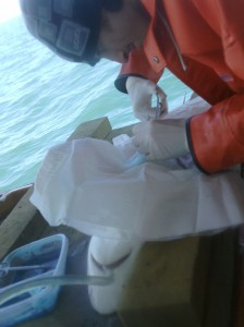 Andrea Del'Apa surgically implants an acoustic tracker into a juvenile sandbar shark.