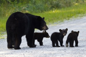 A mother black bear and her cubs cross the road in the refuge. Photo Courtesy Jackie Orsulak.