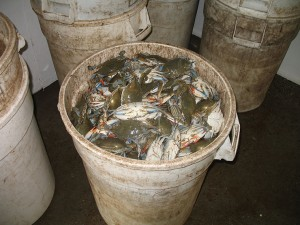 A can filled with blue crabs.