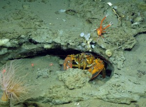 American and squat lobster in a crevice.