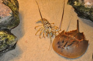 Horseshoe crab and lobster in petting pool tank.