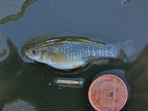 An anesthetized mummichog beside a pit tag, which is about half an inch long.