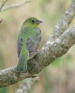 A green painted bunting.