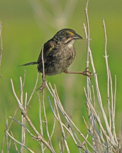 The seaside sparrow standing on small branches.