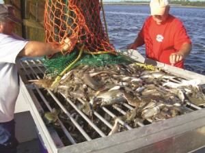 Bars on the top grate catch larger bycatch from the net, while the smaller grate stops more unwanted catch from falling to the bottom of the culling table.