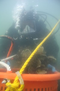 A diver collects samples from an oyster sanctuary.