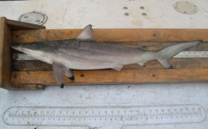 A spinner shark being measured.
