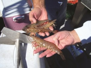 Broome prides himself on providing high-quality shrimp to his customers.