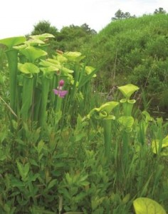 A grass pink orchid shows its colors among a stand of trumpets along a Brunswick County roadside