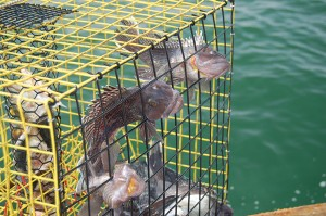 Black sea bass caught.
