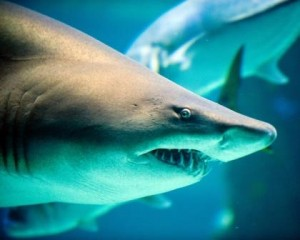 Sand tiger shark in an aquarium.