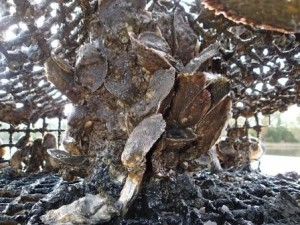 oysters inside refurbished crab pot