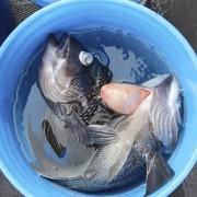 fish with barotrauma