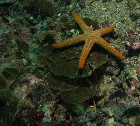 Lobophora variegata brown alga
