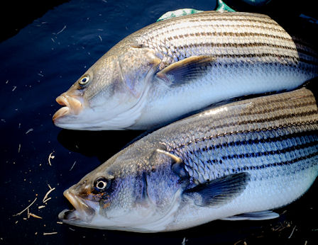 broiled hybrid striped bass