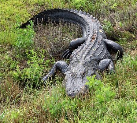 alligator in Cumberland County