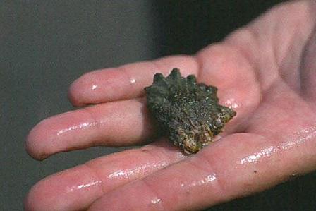 oyster larvae