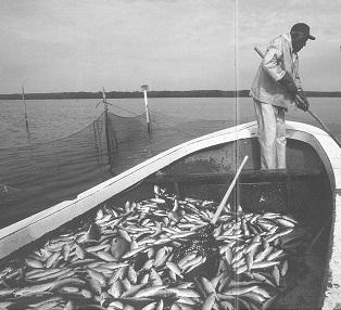 Hazel Rountree pound-net fishing