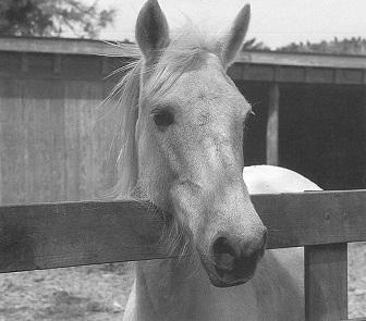 Ocracoke Island ponies
