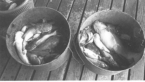 bucket of catfish