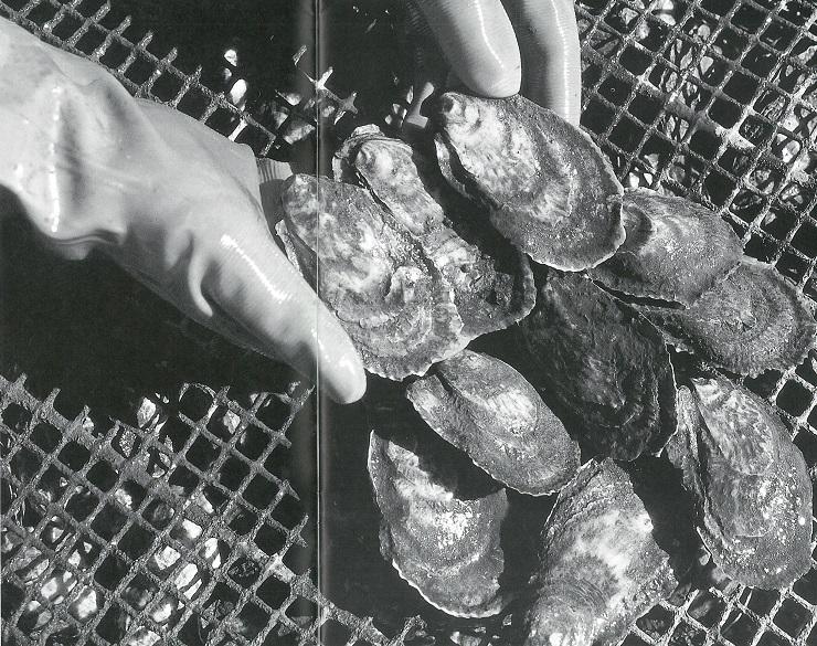 vanishing oysters