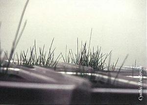 juncus roemerianus seedling