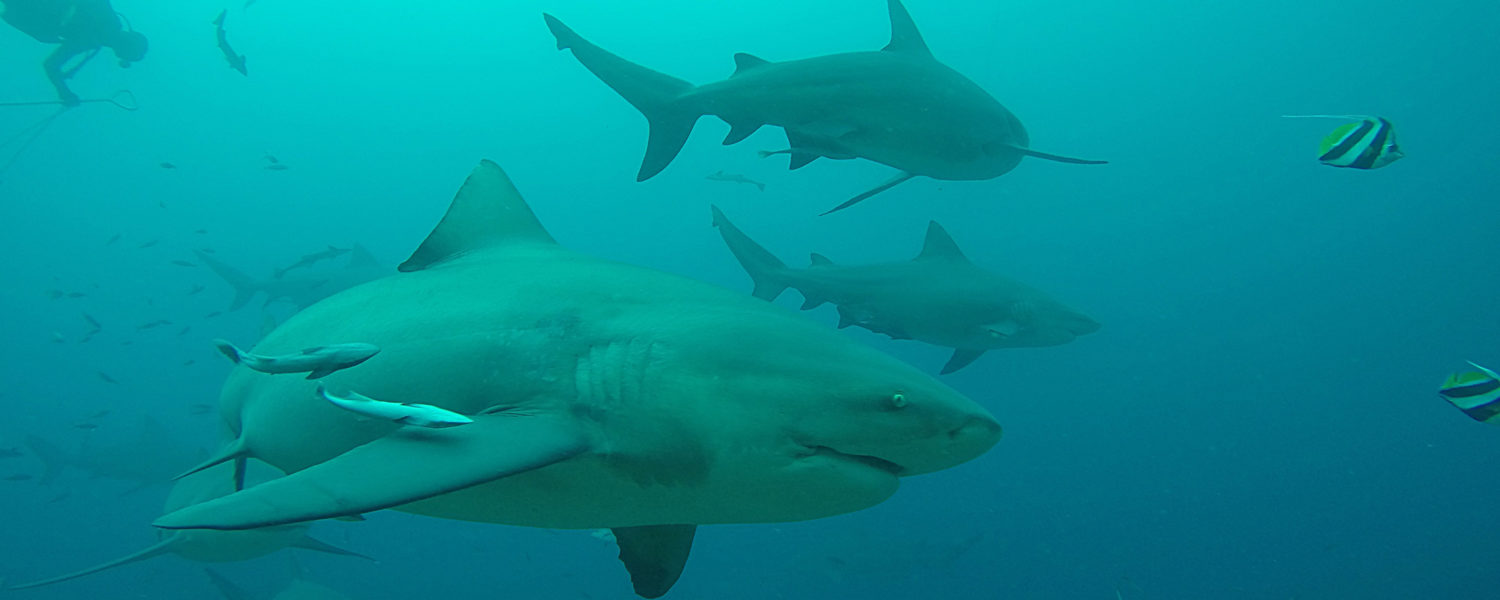 Bull shark with diver