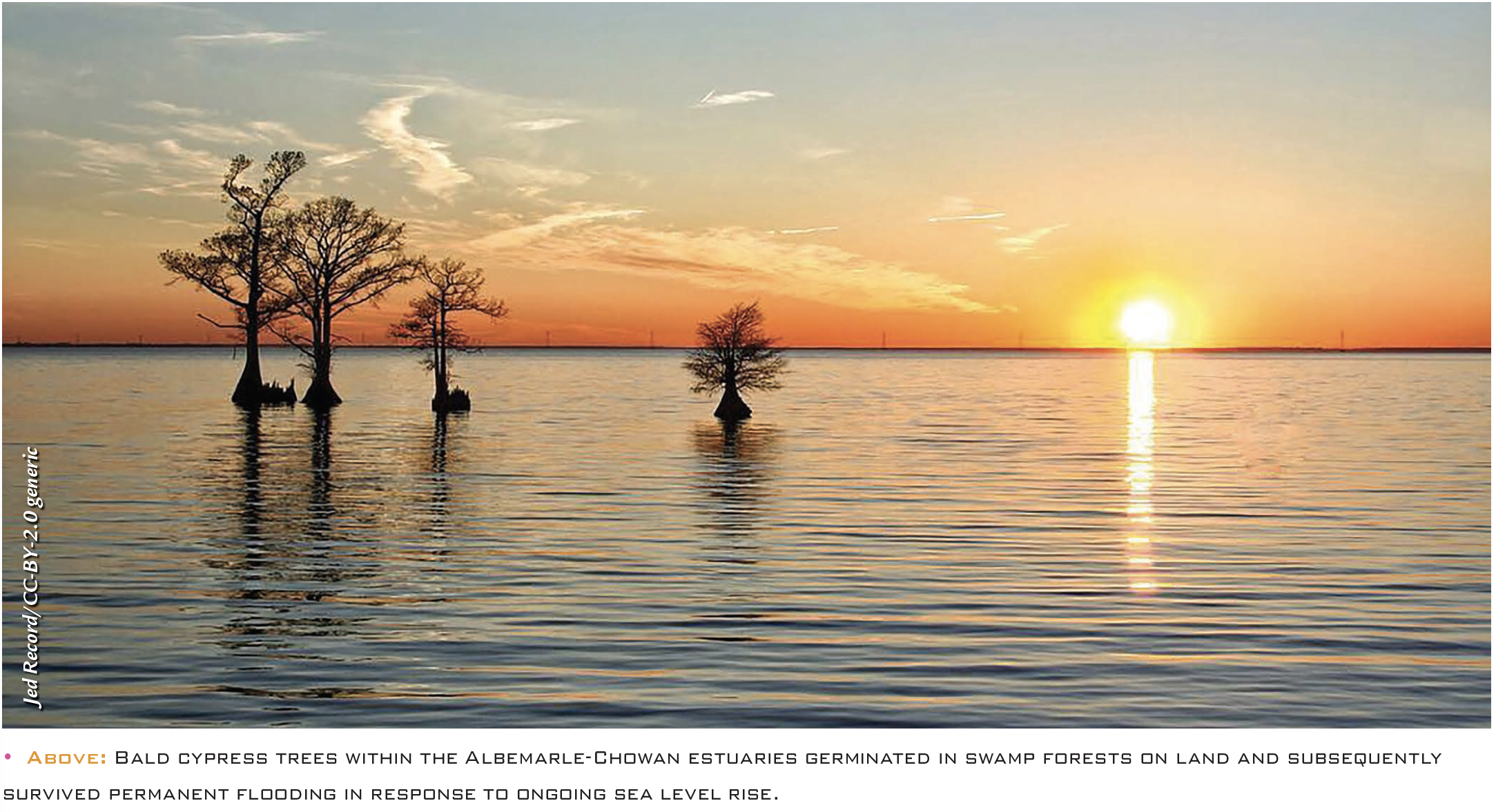 • Above: Bald cypress trees within the Albemarle-Chowan estuaries germinated in swamp forests on land and subsequently survived permanent flooding in response to ongoing sea level rise.