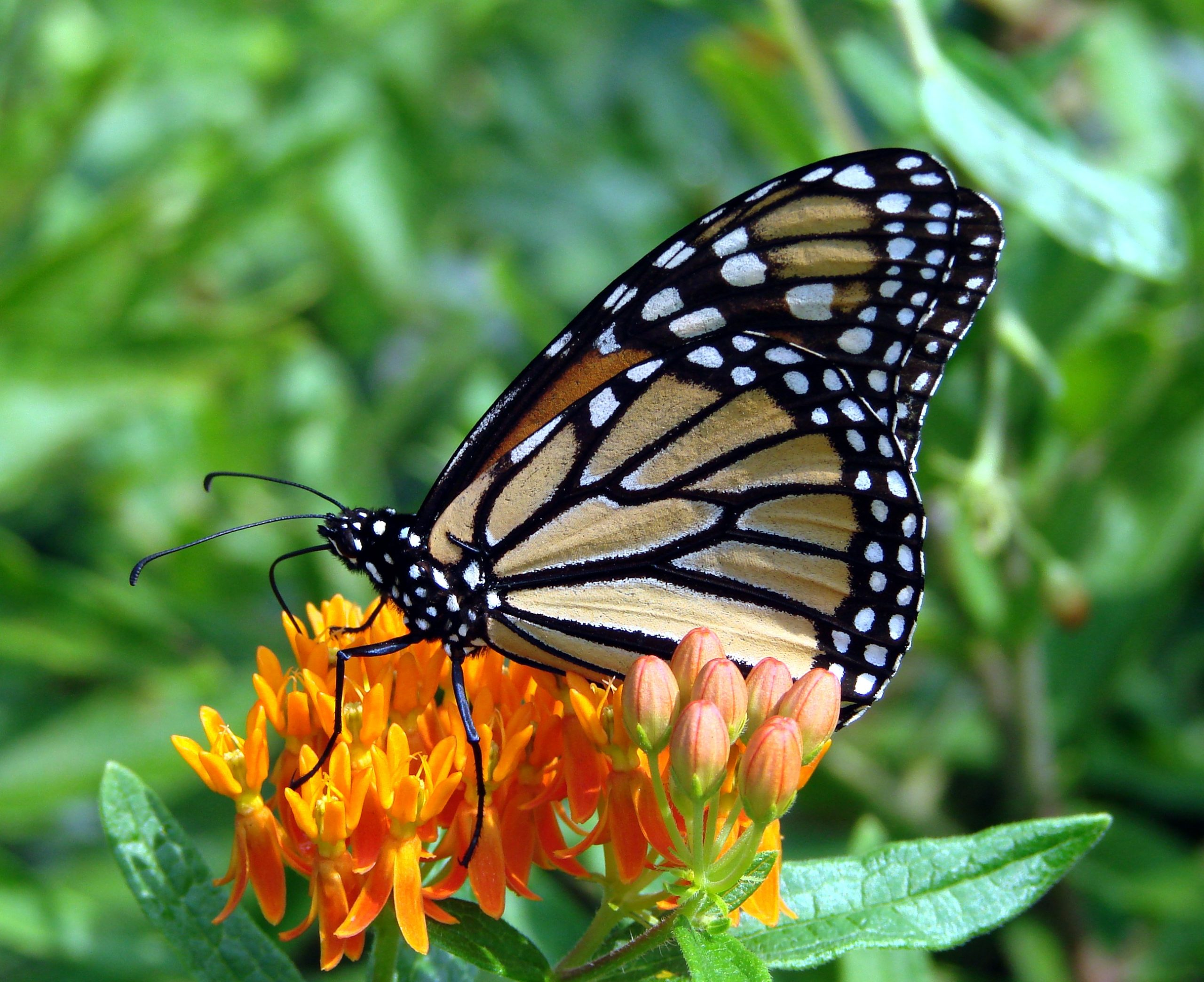 Butterfly weed attracts insect pollinators. By Martin LeBac.