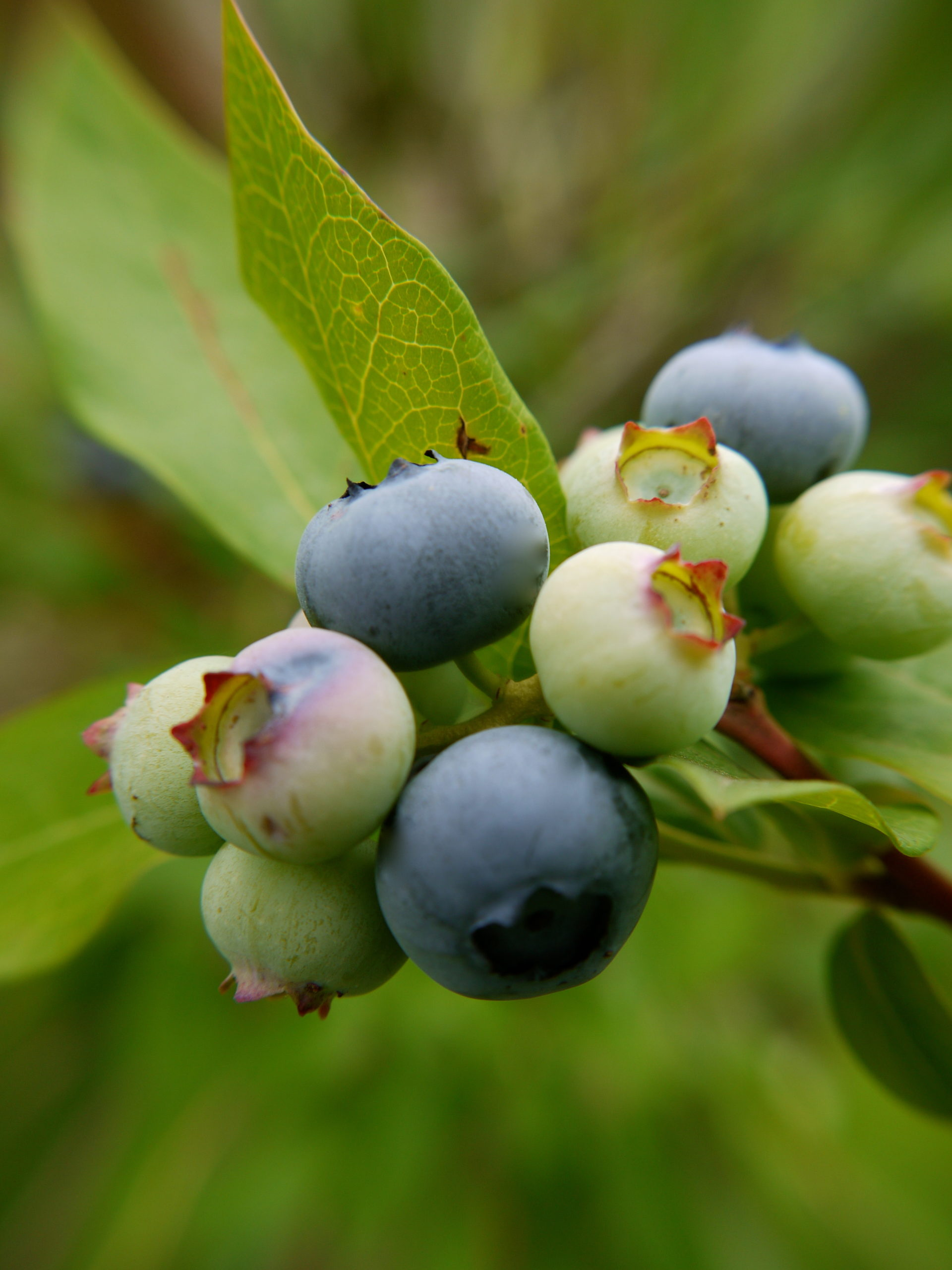 Highbush blueberry shrubs can create an excellent hedge. By Rob Thurma