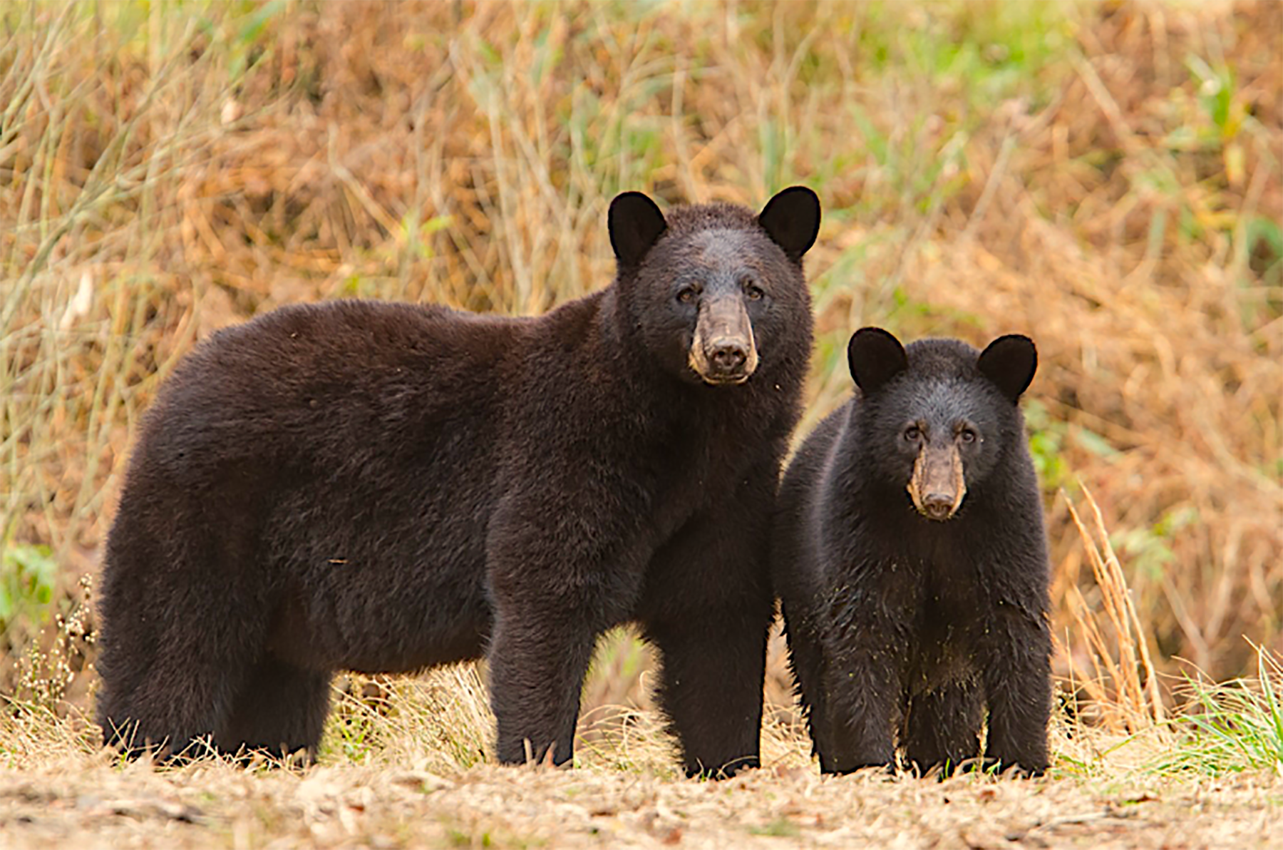 Black bears are common sights across the OAP region. Photo by Mike Dunn.