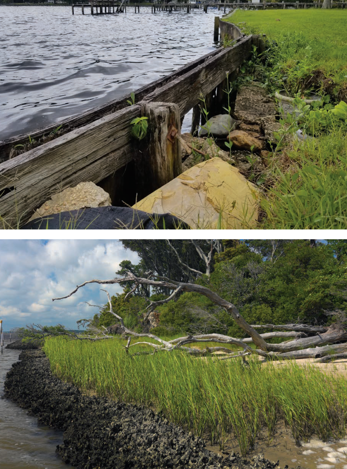 An alternative to hardened bulkheads (top) are living shorelines, which provide erosion control and habitat.