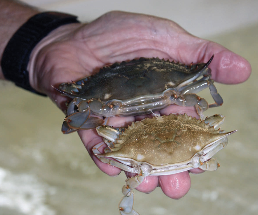 To grow, a blue crab periodically sheds its hard shell through a process called molting.