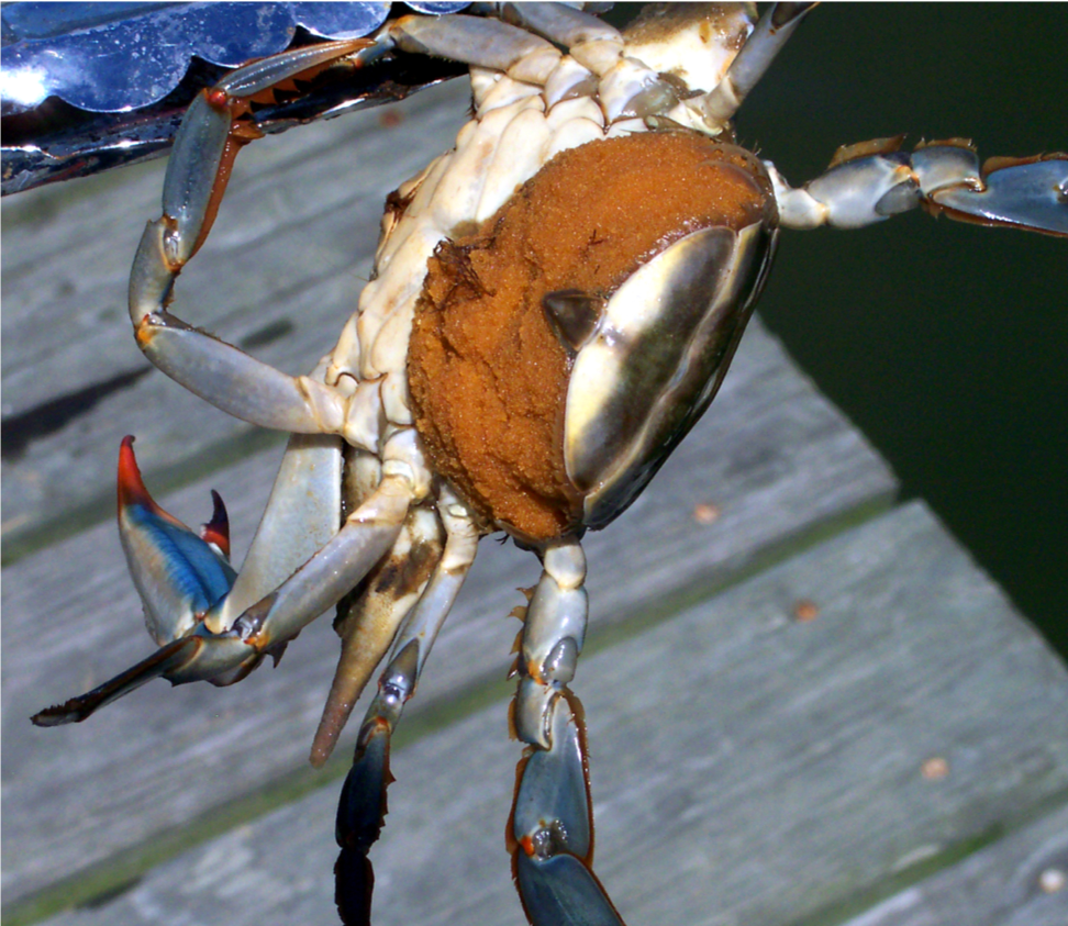 Spawning female blue crabs are recognizable by yellow-orange, brown, or black egg masses. Photo by David Saddler/CC BY 2.0