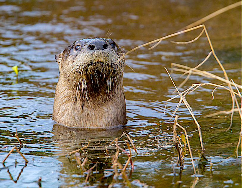 River otter, photographed by Mike Dunn