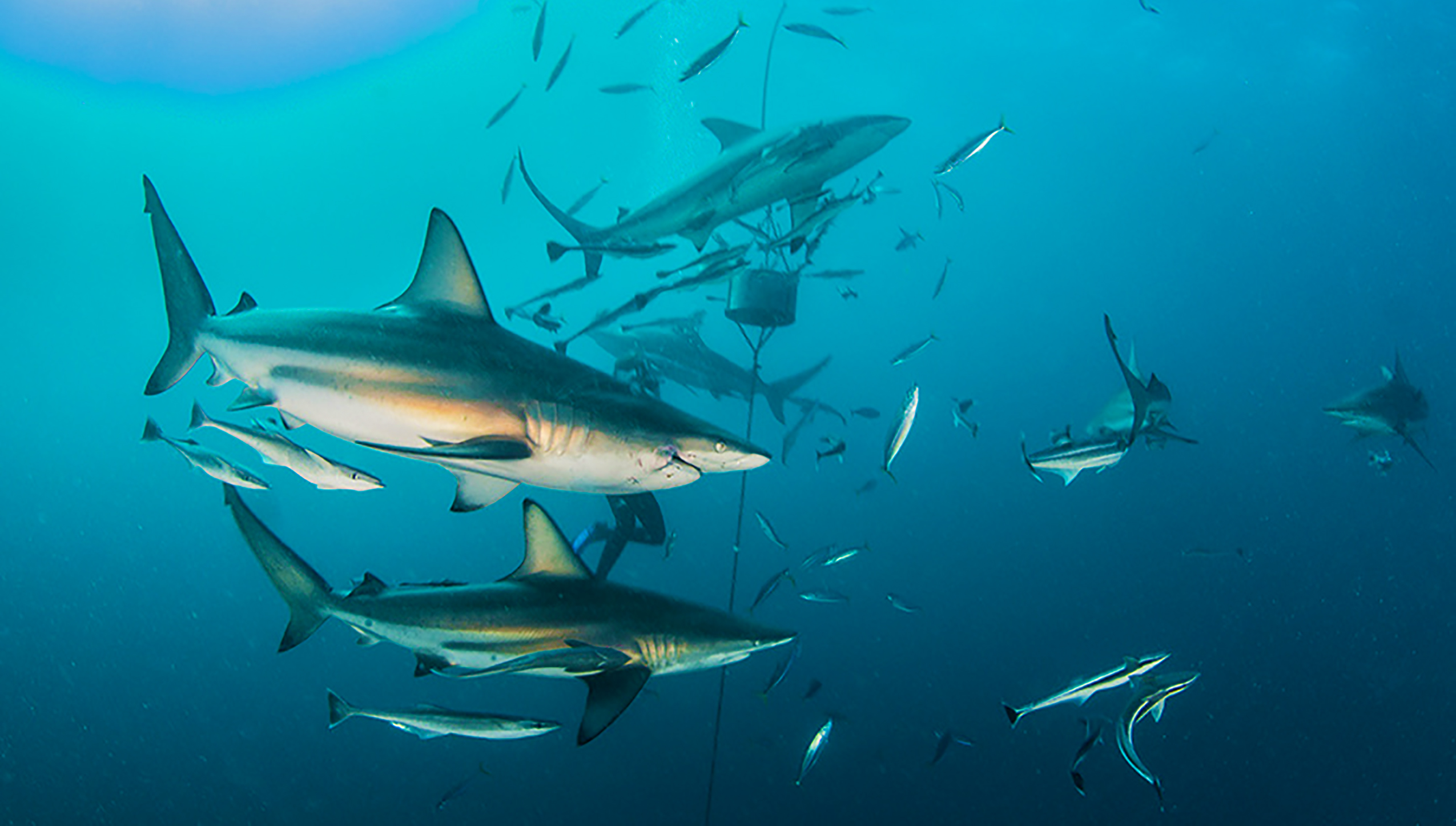 Atlantic blacktip sharks