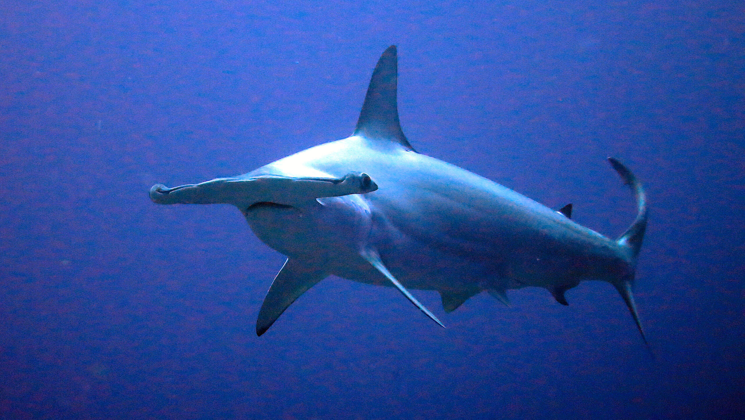 Scalloped hammerhead, courtesy of NOAA