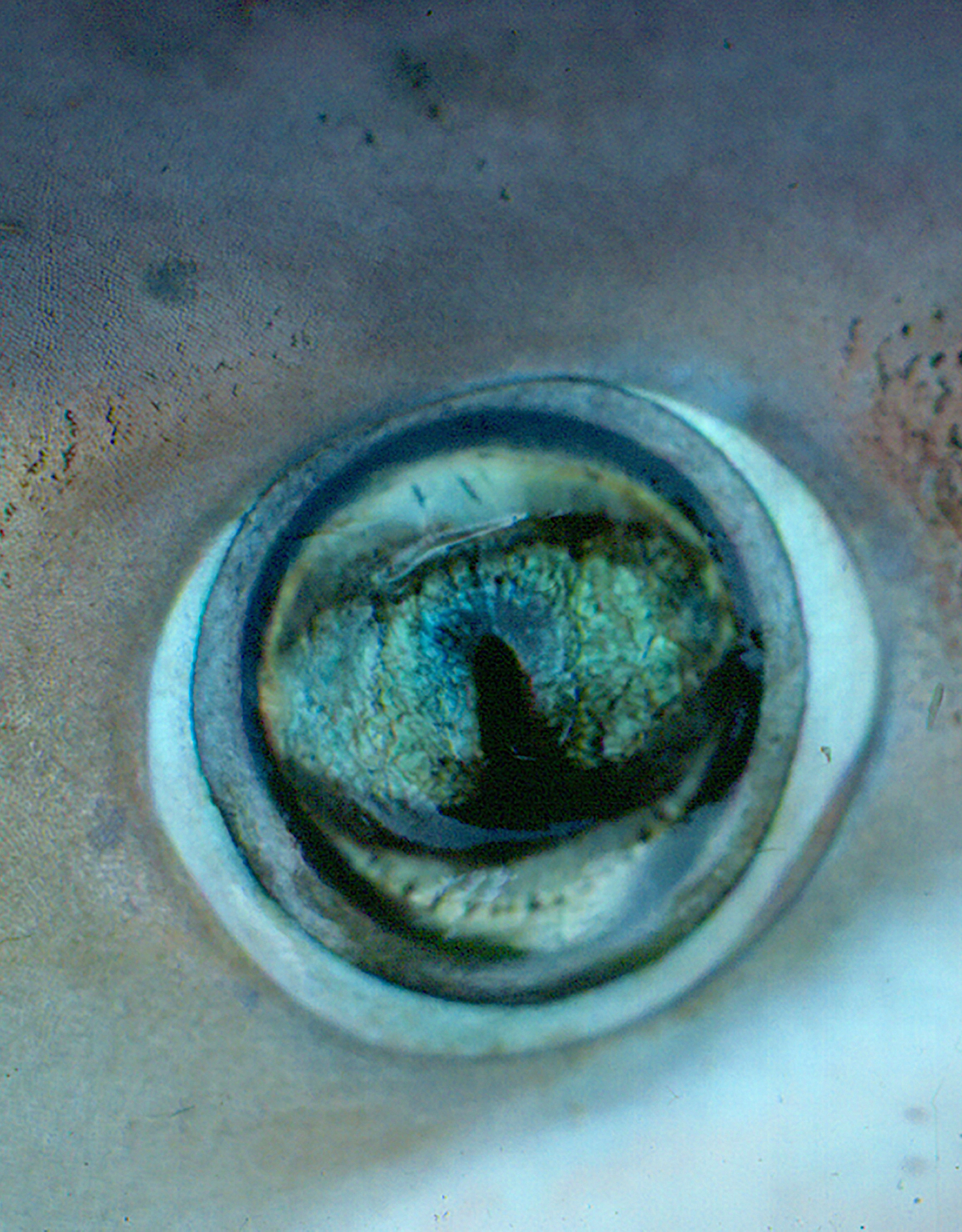The eye of a night shark, courtesy of NEFSC/NOAA