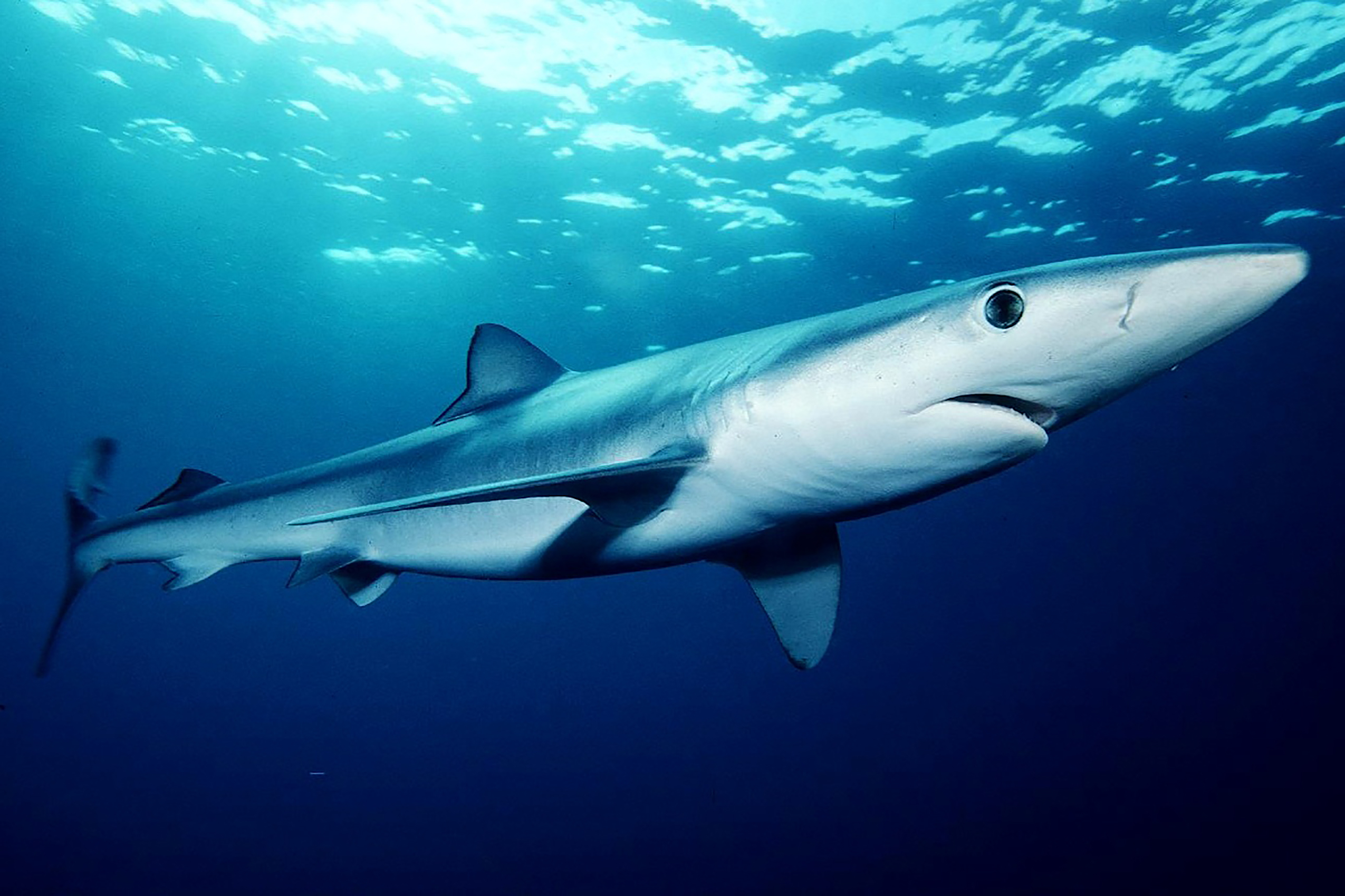 Blue shark, courtesy of Mark Conlin/NMFS