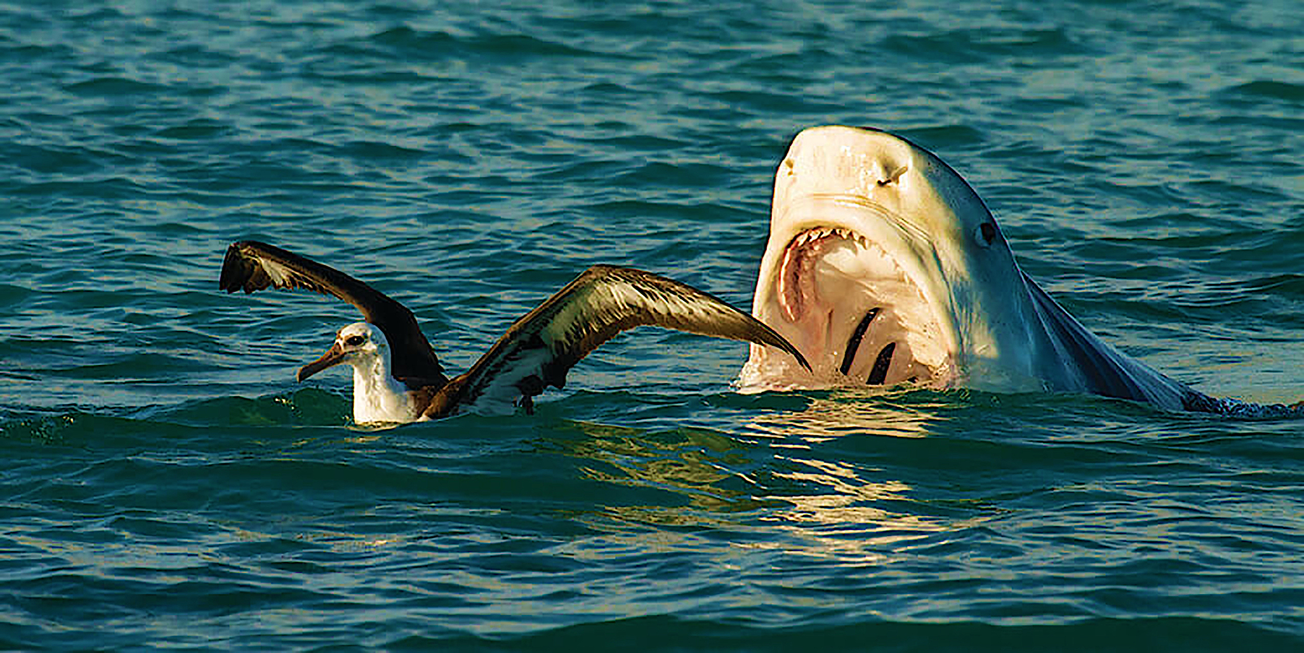Tiger shark versus albatross, courtesy of Ilana Nimz/NOAA
