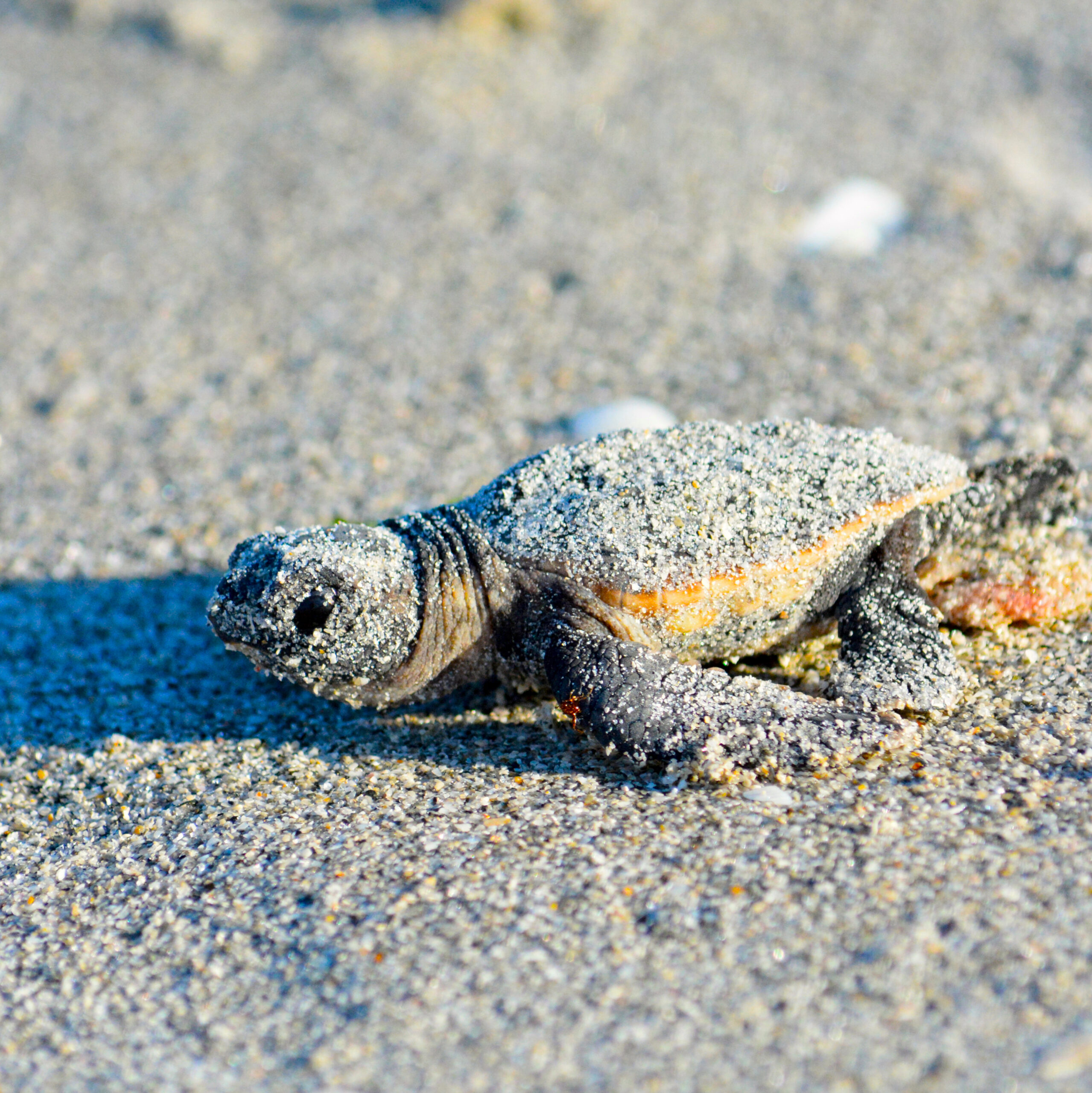 The very first steps of a loggerhead hatchling. Photograph by Jean-Lou Justine/CC-BY-SA 4.0.