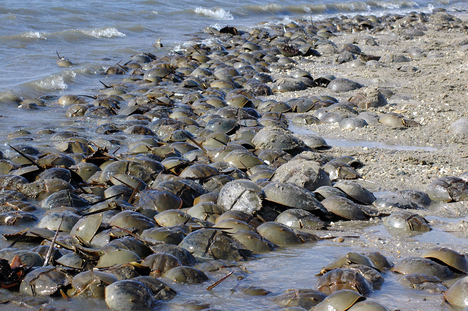 Horseshoe crabs come ashore on sandy beaches en masse to lay their eggs.
