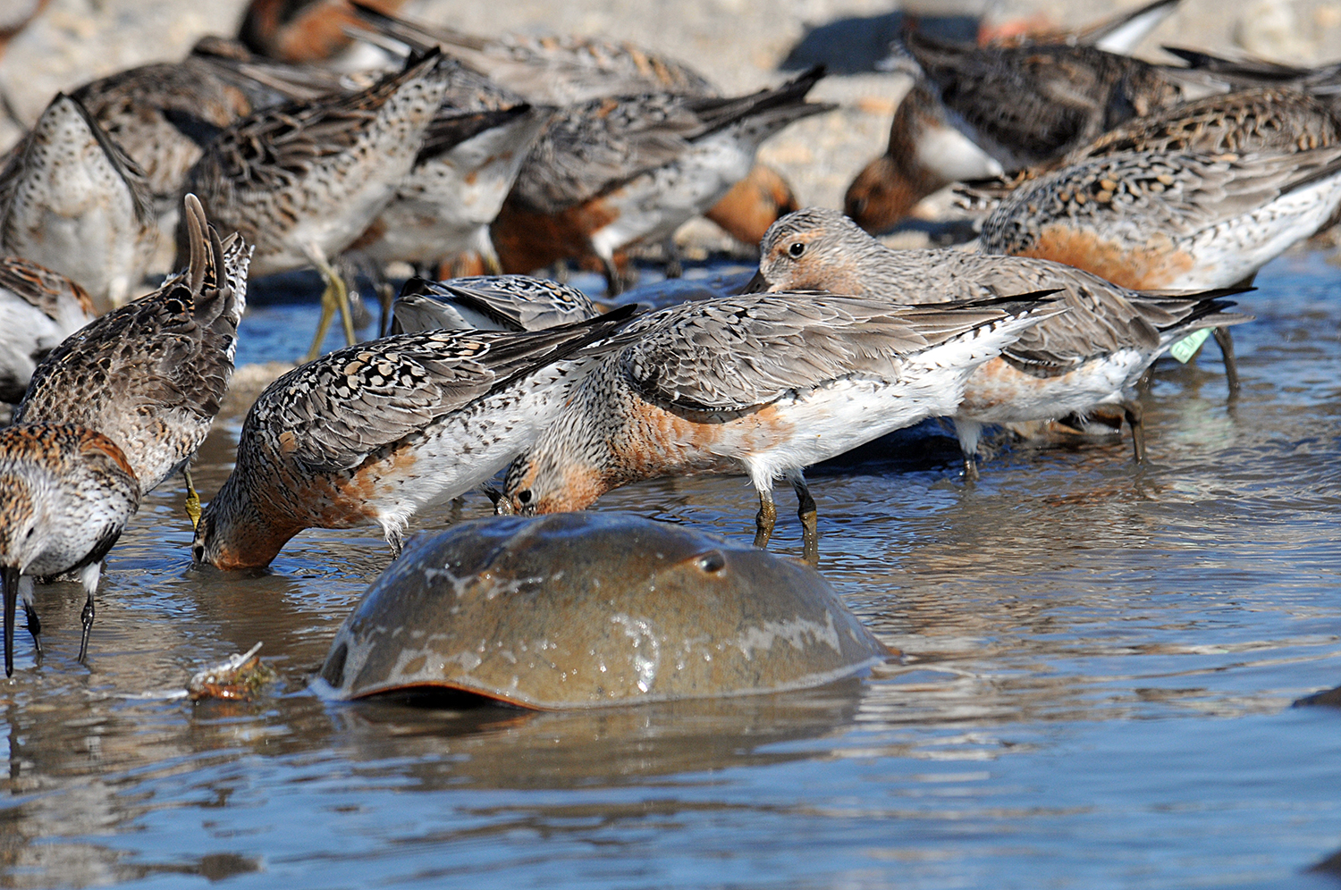 Red knots are migrating shorebirds that feast on horseshoe crab eggs. Photo by Gregory Breese/USFWS