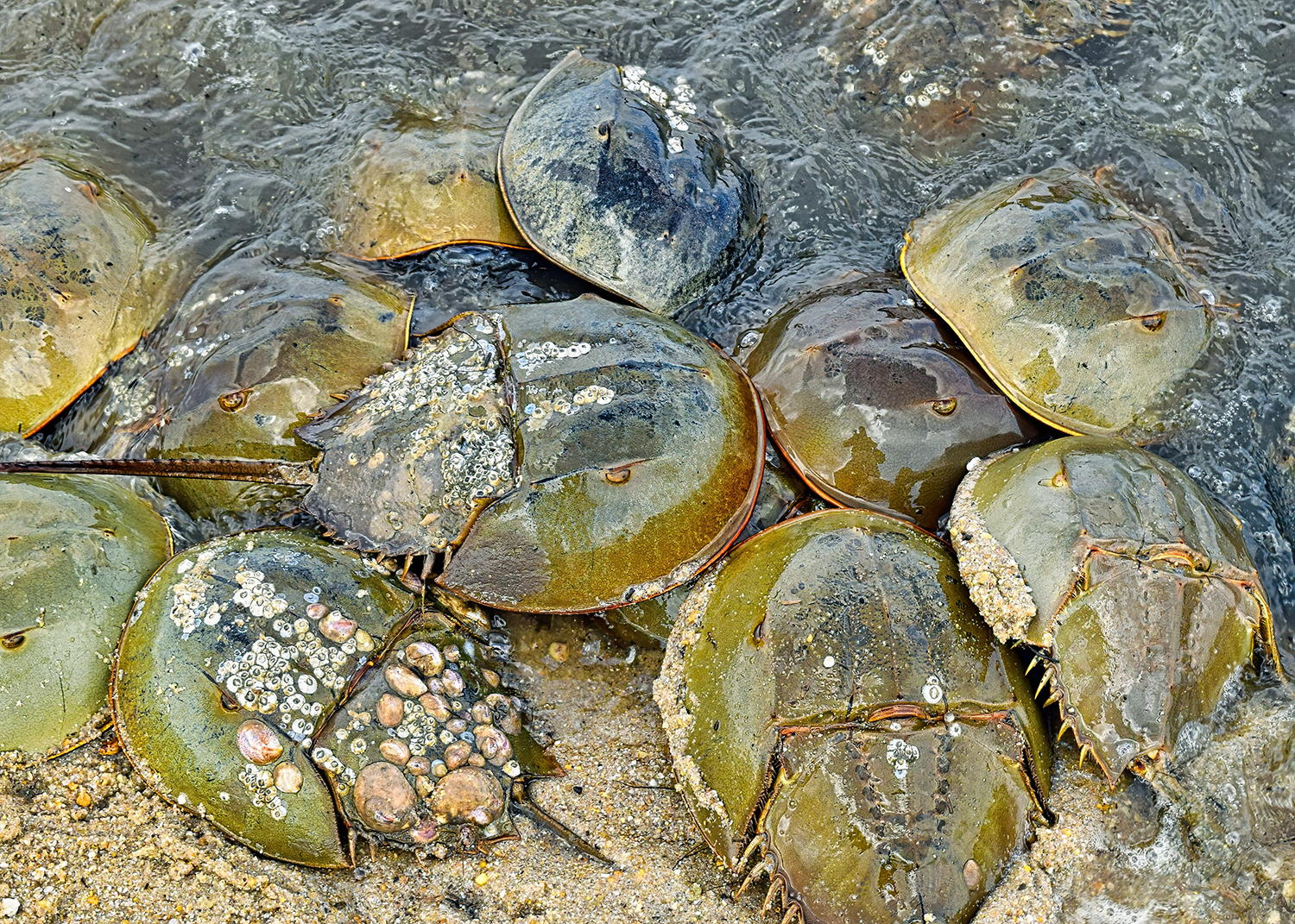 A host of organisms, such as barnacles, marine snails, and anemones, reside on horseshoe crab shells. Photo by Chris Engel