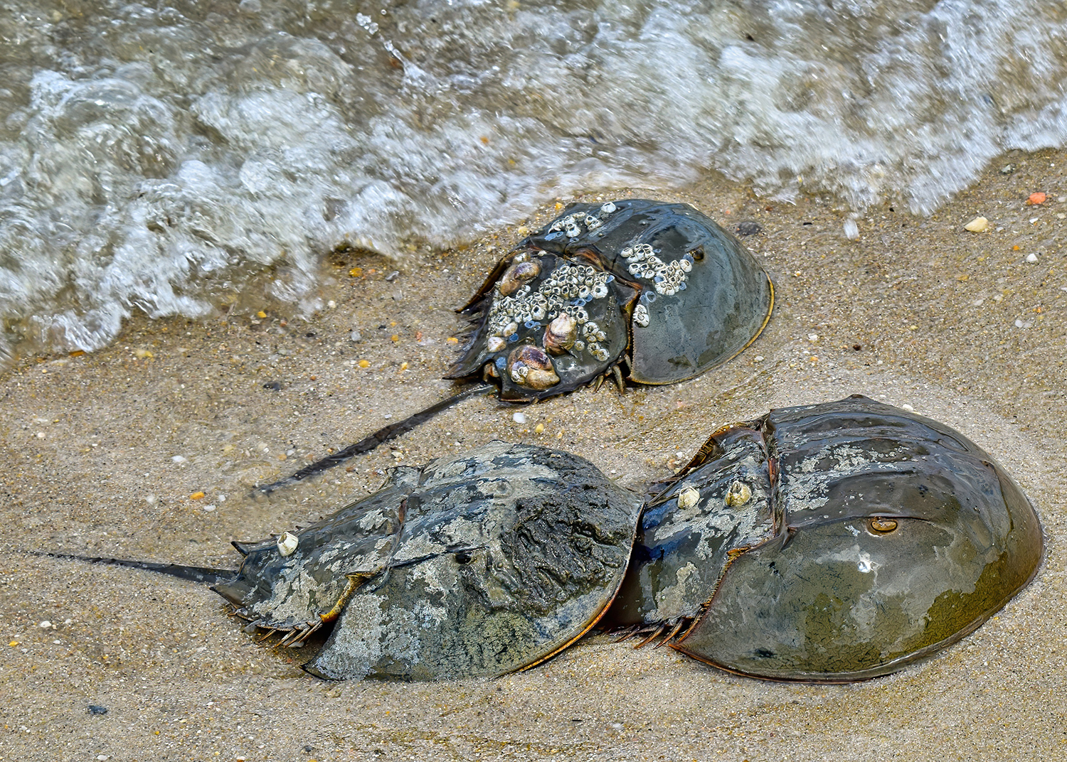 Spawning female horseshoe crabs usually come ashore with a male attached. Photo by Chris Engel