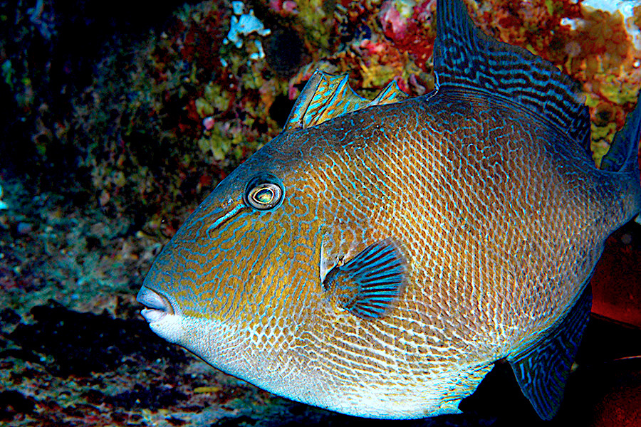 Gray triggerfish were prominent in a study of Southeast reef fish diversity.Fishery managers can use study results to predict areas of fish biodiversity at large and small scales. Photo courtesy of NOAA.